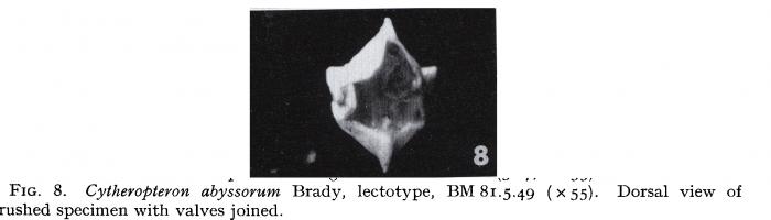 Cytheroptheron abyssorum - Lectotype - Puri & Hulings 1976