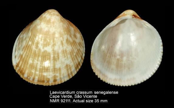 Laevicardium crassum senegalense