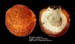 Hinnites corallinus
