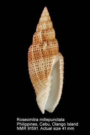 Roseomitra millepunctata