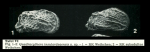 Quadracythere insulardeaensis Hartmann, 1981 from original description