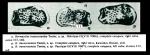 Hermanites transoceanica Teeter, 1975 from original description