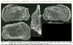Quadracythere auricolata Bonaduce, Masoli, Minichelli & Pugliese, 1980 from the original description