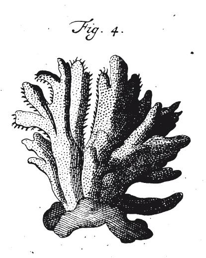 Spongia tupha Pallas, 1766