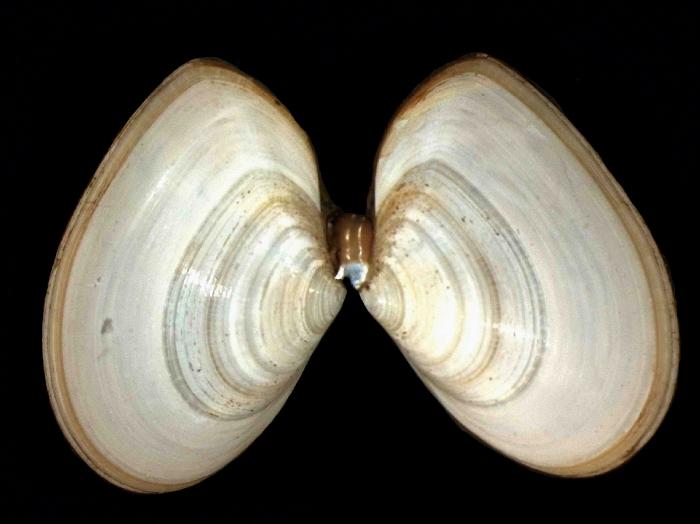 Tellina tenuis da Costa, 1778