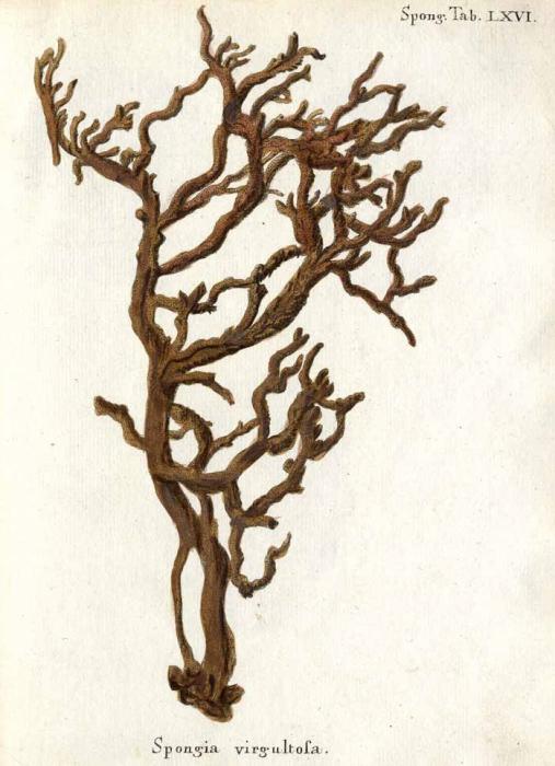 Spongia virgultosa Esper, 1806