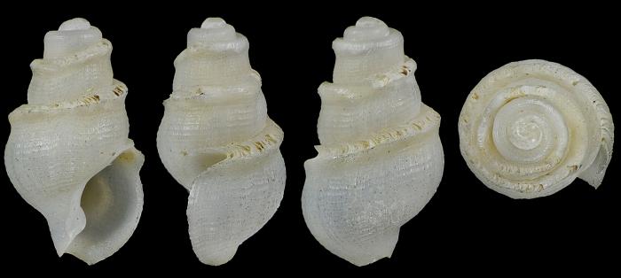 Conopleura aliena Smriglio, Mariottini & Calascibetta, 1999 HOLOTYPE