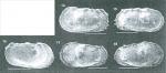 Dutoitella lesleyae Dingle, 2003 from original description_Fig 4.14-18.png