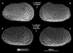 Echinocythereis echinata Sars, 1866 from Brandão & Karanovic, 2015