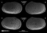 Echinocythereis jorunbrix Brandão & Karanovic, 2015 from original description