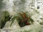 Goniopsis cruentata