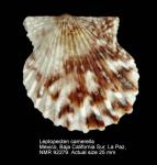 Leptopecten camerella