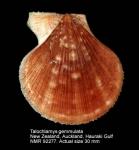 Talochlamys dichroa