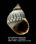 Echinolittorina feejeensis