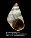 Echinolittorina apicina