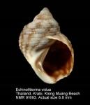 Echinolittorina vidua