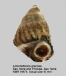 Echinolittorina granosa