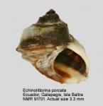 Echinolittorina porcata