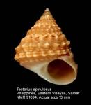 Tectarius spinulosus