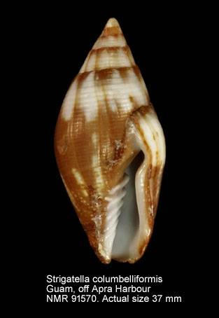Strigatella colombelliformis