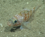 Helicolenus dactylopterus, 412 mGulf of Mexico  Image courtesy of the NOAA Office of Ocean Exploration and Research, Gulf of Mexico 2017. Identification from photograph by A. Quattrini.