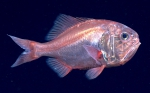 Hoplostethus occidentalis, 679 mGulf of Mexico  Image courtesy of the NOAA Office of Ocean Exploration and Research, Gulf of Mexico 2017. Identification from photograph by A. Quattrini.