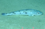 Merluccius albidus, 682 m Gulf of Mexico