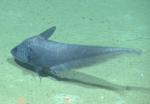 Coryphaenoides mediterraneus, 2145 mGulf of Mexico  Image courtesy of the NOAA Office of Ocean Exploration and Research, Gulf of Mexico 2017. Identification from photograph by T. Iwamoto.