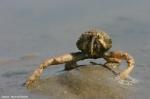 Helmkrab (Corystes cassivelaunus)
