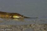 Grote zeenaald - Syngnathus acus