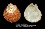 Plicatula spondylopsis