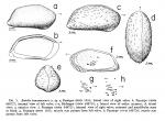 Bairdia hanaumaensis Holden, 1967 from the original description