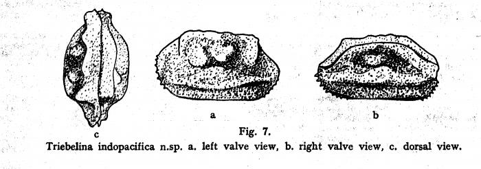 Triebelina indopacifica Bold, 1946 from original decription