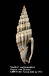 Vexillum fuscoapicatum