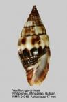 Vexillum geronimae
