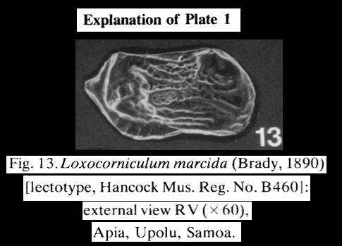 Cytherura marcida Brady, 1890 LECTOTYPE from McKenzie, 1986