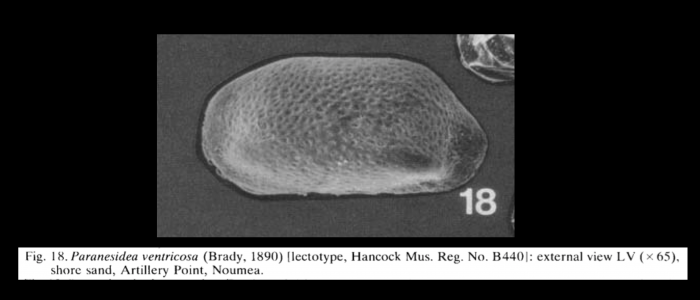 Paranesidea ventricosa (Brady, 1890) LECTOTYPE from McKenzie, 1986