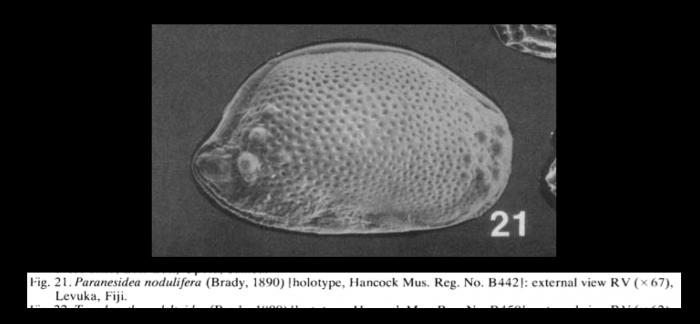 Paranesidea nodulifera (Brady, 1890) LECTOTYPE from McKenzie, 1986
