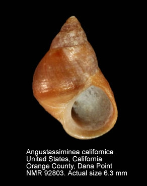 Angustassiminea californica