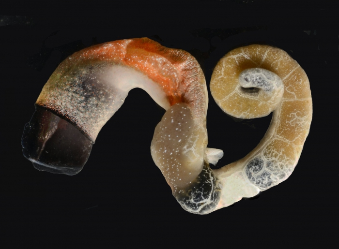 Thylacodes vandyensis