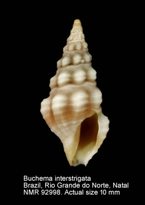 Buchema interstrigata