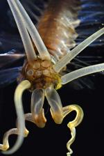 Teuthidodrilus samae