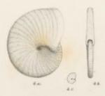 Operculina cruciensis Pictet & Renevier, 1854