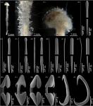 Abyssocladia hemiradiata sp. nov