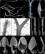 Asbestopluma ramuscula sp. nov.
