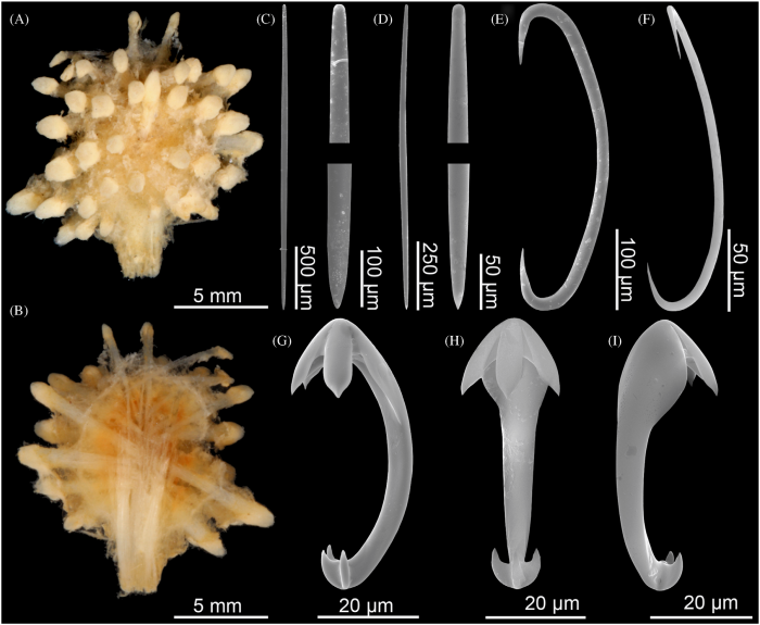 Cladorhiza moruliformis holotype BMNH 87.5.2.146