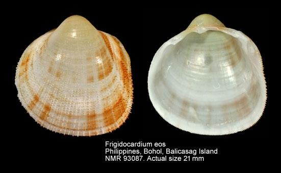 Frigidocardium eos