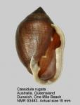 Cassidula rugata