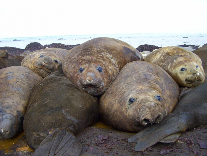 Many Elephant seals