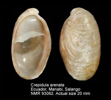 Crepidula arenata